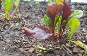 Newly planted Swiss chard is a valuable source for Vitamins A, C, and K