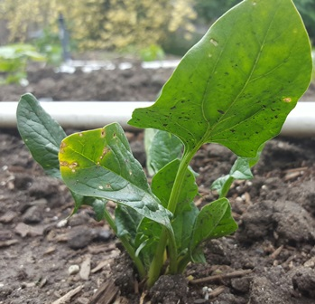 Spinach can be started in seed cell flats and then transplanted into your garden when all danger of frost has passed