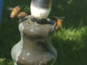These honeybees will visit a backyard fountain throughout the day