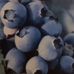 Highbush types of bluberries produce throughout the summer into fall
