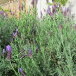 Lavender is an old-time favorite herb that can be used in many beauty products