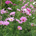 Giant cosmos dazzle when planted as a hedge, the middle of the garden, or in a container