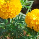 Marigolds come in shades of yellow, gold, red, and rust