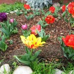 These Kaufmannia tulips make a bold statement wherever they are planted