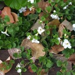 Bacopa's small white flowers blooms from spring through fall