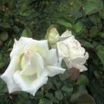 "The ""Honor"" rose...white blooming roses are beautiful under moonlight"