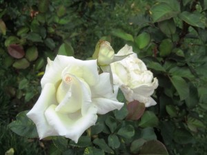 White blooming roses are beautiful under moonlight