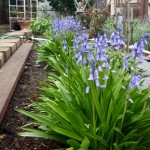 Siberian scilla adds a lot of color for a small grouping of bulbs