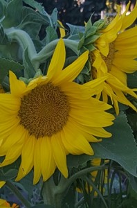 Giant sunflowers in bloom